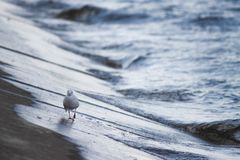 Curiousity 2. River Kama, placed in Perm region. Nice shot of bird  on the bank`s harbour Stock Photos