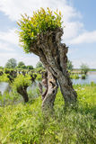 Curiously grown pollard willow stock photo