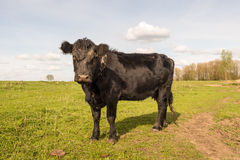 Curiously looking black cow standing alone Royalty Free Stock Image