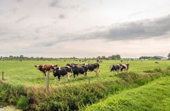Curiously looking cows in the corner of a meadow. Red and black spotted cows in the corner of a pasture looking curiously to the photographer. Beside the meadow stock photos