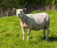 Curiously looking female sheep Royalty Free Stock Photos