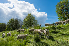 Curiously looking and grazing sheep Stock Photo