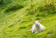 Curiously looking lamb Royalty Free Stock Photos