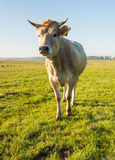Curiously looking light brown cow from close Stock Photos