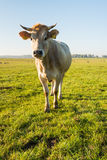 Curiously looking light brown cow from close Royalty Free Stock Image