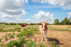 Curiously looking red-and-white cow with horns poses for the pho. Tographer. The cow stands on the floodplains of a river between Jimsonweed or Datura stramonium royalty free stock photos