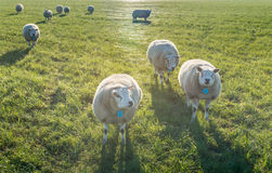 Curiously looking sheep in backlit. Lines of spider silk and some sheep in early morning sunlight in a meadow in the fall season Royalty Free Stock Image
