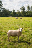 Curiously looking sheep in backlit. One curious sheep in the foreground and some other sheep grazing in the background on a sunny day in the end of the summer Royalty Free Stock Photography