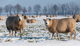 Curiously looking sheep in a snowy grassland Royalty Free Stock Image