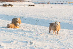 Sheep in the snow. Curiously looking sheep in a snowy meadow Stock Photo