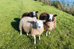 Curiously looking sheep threesome Royalty Free Stock Photography