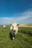 Curiously looking white cow in a sunny meadow Stock Images