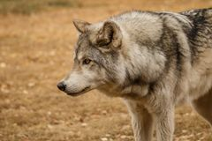 Curiously Looking wolfdog in Yamnuska sanctuary, Canada, hard to train the high content wolfs, strong personality dog. Curiously Looking wolfdog in Yamnuska stock photo