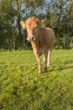 Curiously looking young light brown cow Stock Images