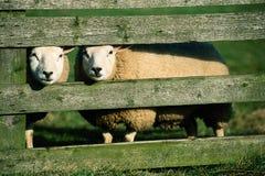 curiuous sheeps белые Стоковое Фото