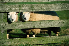 Curiuous white sheeps. Curious white sheeps behind the wooden fence stock photo
