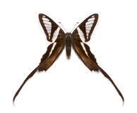 Curius tropical de Lamproptera da borboleta fotografia de stock royalty free