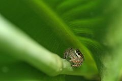 In the curl. Small jumping spider in the curl of a canna leaf Stock Photography