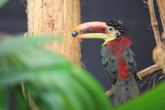 Curl-crested aracari Royalty Free Stock Photos