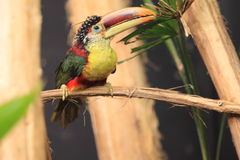 Curl-crested aracari Royalty Free Stock Images