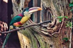 Curl-Crested Aracari. Part of the toucan family Stock Photo