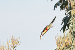 A Curl Crested Aracari Dive Bombing the Rainforest Canopy Royalty Free Stock Photo