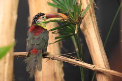 Curl-crested aracari. The male of curl crested aracari sitting on the branch Royalty Free Stock Images