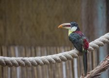 Curl-crested Aracari Pteroglossus beauharnaesii Royalty Free Stock Image