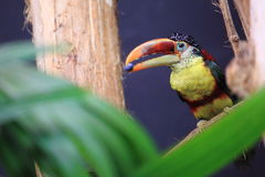 Curl-crested aracari Royalty Free Stock Photography