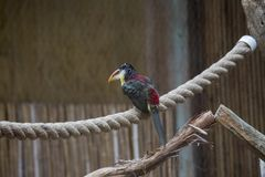 Curl-crested Aracari (Pteroglossus beauharnaesii) Stock Photography