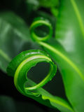 Curl fern leafs Royalty Free Stock Photo