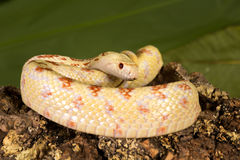 Curled bullsnake Royalty Free Stock Images