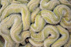 Curled cactus Royalty Free Stock Image