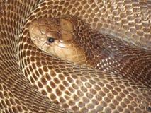 Curled cobra snake closeup stock photo