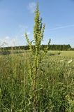 Curled Dock - Rumex crispus Stock Photography