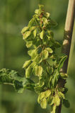 Curled Dock - Rumex crispus Stock Photos