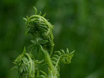 Curled Ferns. Ferns curled and waiting to unfurl Stock Images