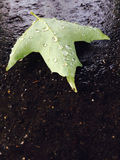 Curled Green Maple Leaf On Wet Pavement Stock Photo