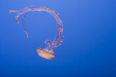 Curled jellyfish. Black Sea Nettle jellyfish on blue background Royalty Free Stock Image