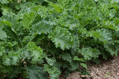 Curled Kale. Growing in the garden.  Kale is known for its tasty greens with high vitamin and mineral content Royalty Free Stock Image