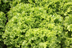 Curled lettuce. Lactuca sativa var crispa, loose-leaf variety with curly ruffled edges, soft, pliable and crunchy, excellent for salads, Astraceae royalty free stock images