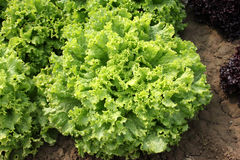 Curled lettuce. Lactuca sativa var crispa, loose-leaf variety with curly ruffled edges, soft, pliable and crunchy, excellent for salads, Astraceae royalty free stock image