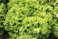Curled lettuce. Lactuca sativa var crispa, loose-leaf variety with curly ruffled edges, soft, pliable and crunchy, excellent for salads, Astraceae stock photo