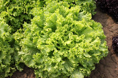 Curled lettuce. Lactuca sativa var crispa, loose-leaf variety with curly ruffled edges, soft, pliable and crunchy, excellent for salads, Astraceae stock image