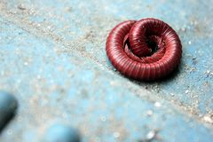 Curled milipede on the ground Stock Photography
