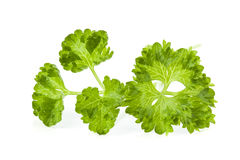 Curled parsley sprigs on white background Stock Images