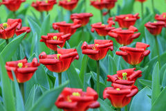 Curled red tulips royalty free stock images
