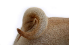 Curled sharpei tail. Typical curled, coin , sharpei tail stock images