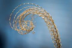 Curled top of dried pampas grass or prairie grass Stock Photos