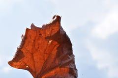 Curled trocknete nahes hohes des Blattes stockfotos